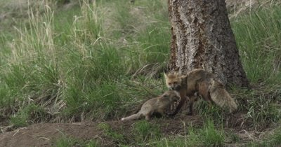 mom brings in ground squirrel for kits