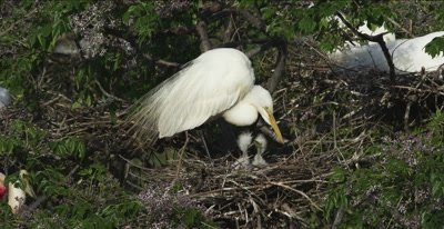 great egret in nest with 2 chicks