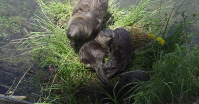 otter kits and mom playing on grassy log