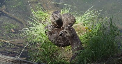 Otter babies playing