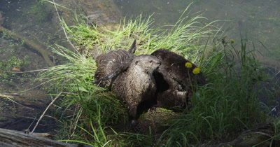 mama and baby otters playing on grassy log