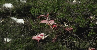 roseate spoonbills fighting and great egrets nesting