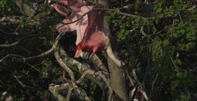 roseate spoonbills fighting