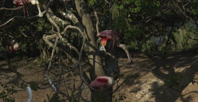roseate spoonbills fighting