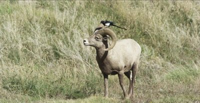 big horn sheep males with magpie
