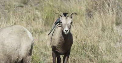 several big horn sheep