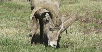 big horn sheep ram