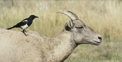 big horn sheep ewes and magpie