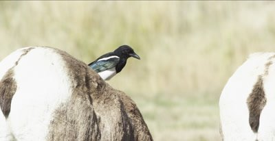 big horn sheep with magpie