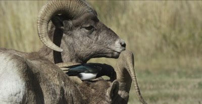 big horn sheep rams with magpie