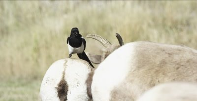big horn sheep ewe with magpie