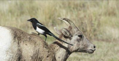 big horn sheep ewe
