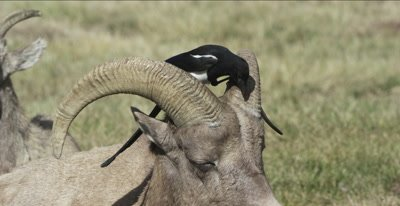 big horn sheep and magpie
