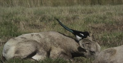 big horn sheep immature with magpie