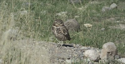 burrowing owl standing on small rocks