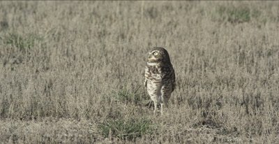 burrowing owl standing in grass