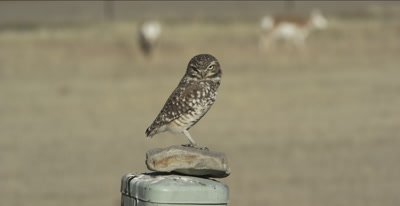 burrowing owl standing on rock on phone box