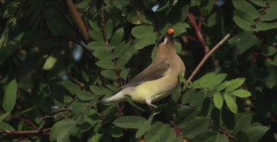 cedar waxwings in mountain ash