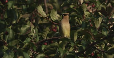 cedar waxwings in crab apple tree