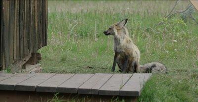 red fox vixen sitting