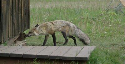 red fox vixen goes into den