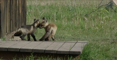 cross fox and red fox babies come out of den