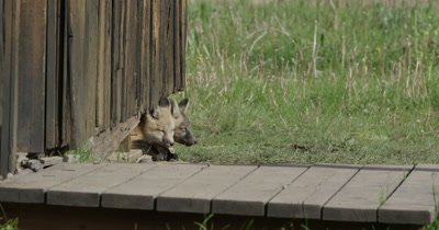 red fox kit and cross fox kit sitting at den opening