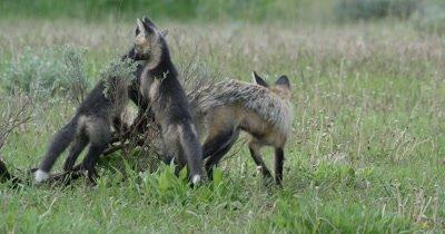 cross fox kits and red fox kit and mom playing around sage bush