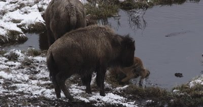 bison yearling pushes newborn sibling into pond