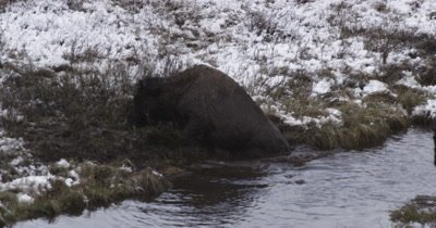 bison yearling struggling to get out of pond