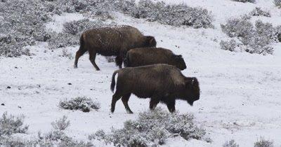 bison herd walking in snow