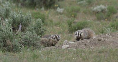 badger mom and kit near den