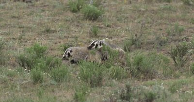 badger mom and kit walking further away from den
