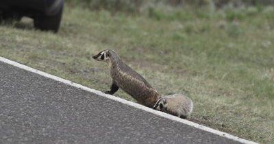 badger mom and kit at roadside