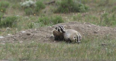 badger mom and kit back at den