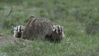 badger mom and kit at den
