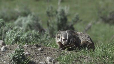badger mom backs out of den then rests