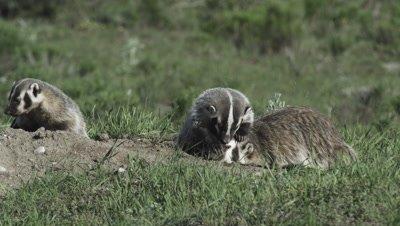 badger mom and kits at den