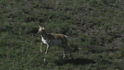 female pronghorn grazing and running