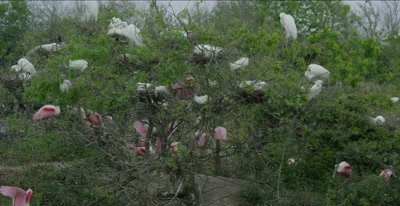 roseate spoonbills and great egrets at rookery