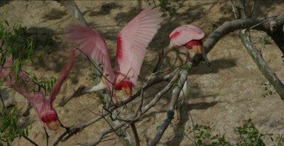 roseate spoonbills defending territory