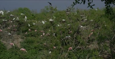 roseate spoonbills and great egrets in rookery