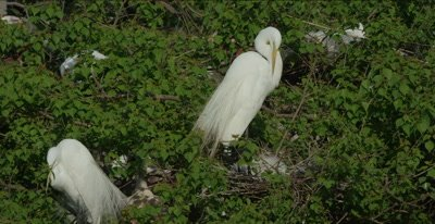 great egret on nest with babies