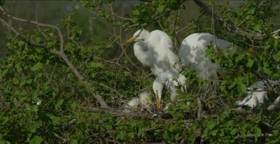 great egret at nest with chicks