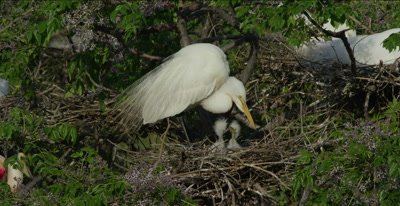 2 great egret chicks fighting in nest while mom watches