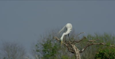 great egret on unfinished nest displaying