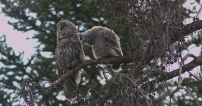 great gray owl chick and mom