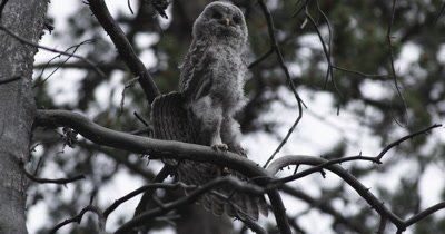 great gray owl chick  stretching