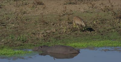 young waterbuck and hippo