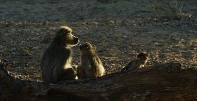 chacma baboon family